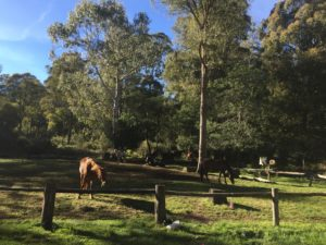 Horses feeding in a horse paddock with large trees in backgound