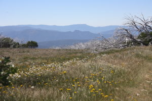Wildflowers and snowgums with mountains background