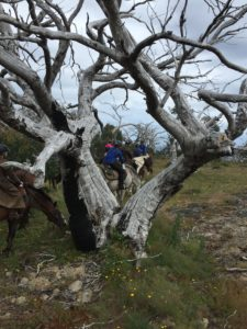Group of riders on horseback riding through snow gum trees
