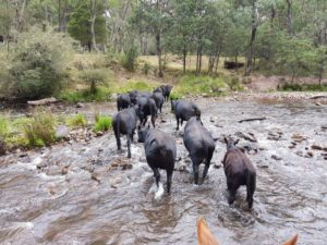 Pushing cattle up along the king river