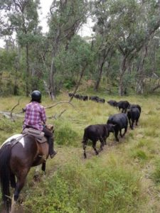 Rider Pushing cattle through the bush