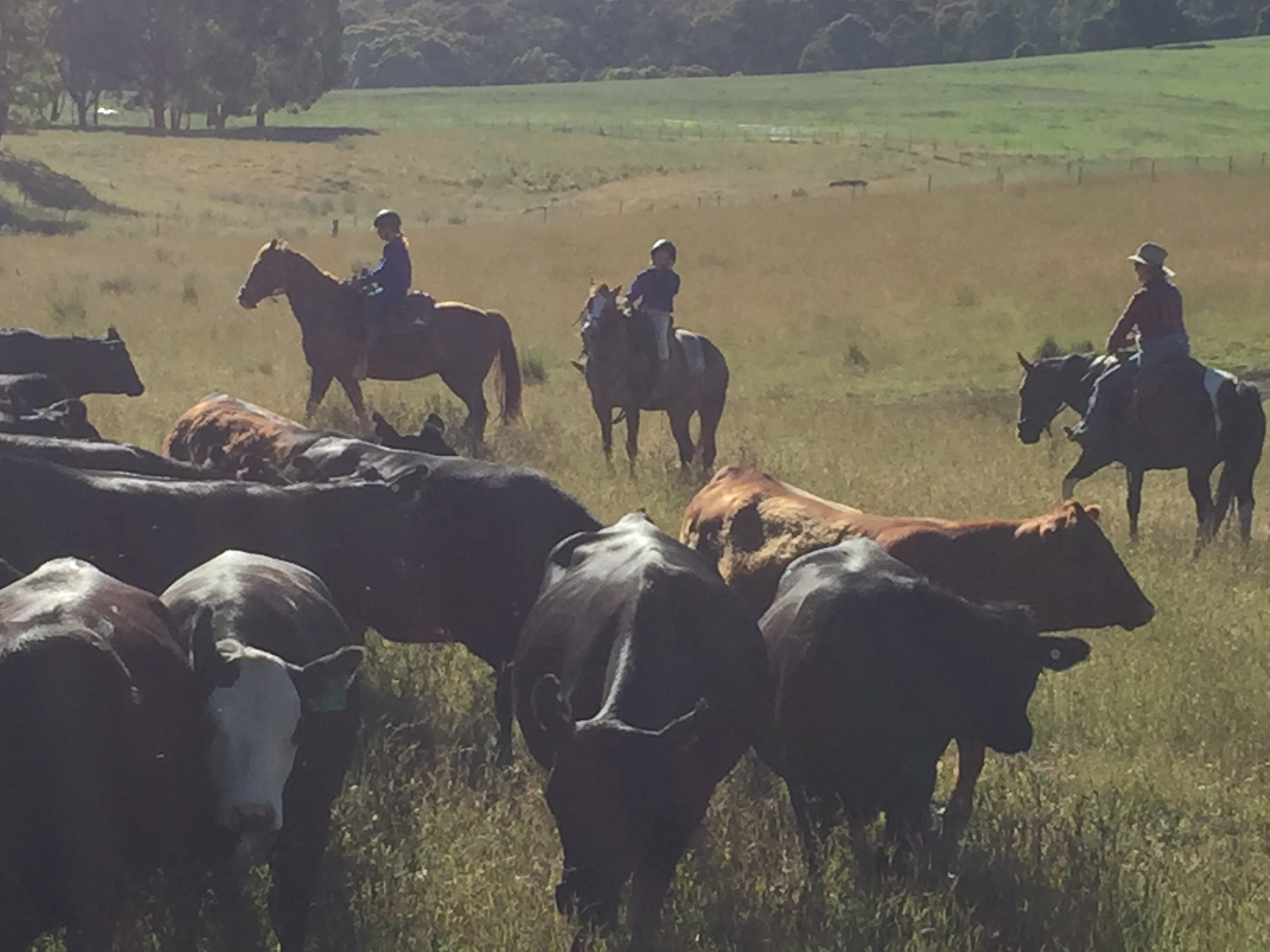 mustering cattle